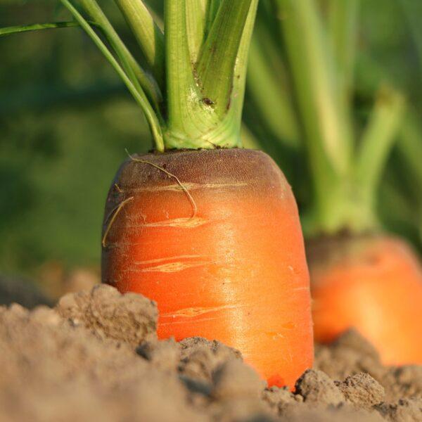 Karottenöl BIO SanaBio Lieferant
