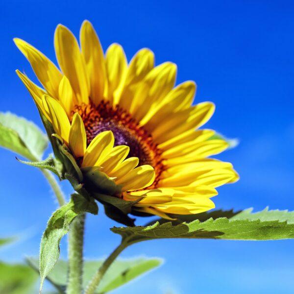 Sonnenblumenöl BIO SanaBio Lieferant