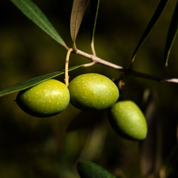 Olivenöl BIO SanaBio Lieferant