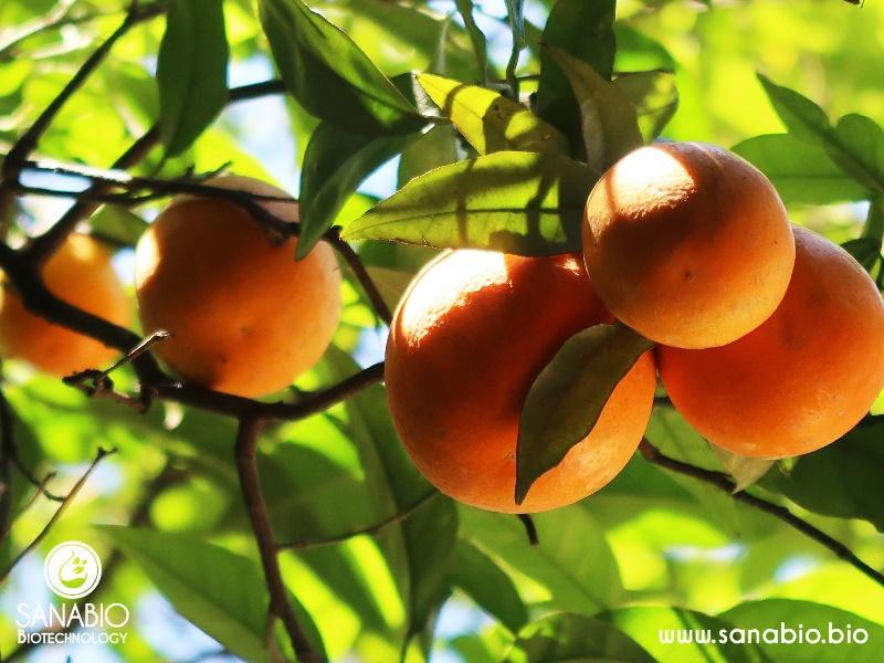 Orangenöl BIO SanaBio Lieferant