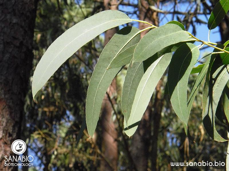 Eukalyptusöl BIO (globulus) SanaBio Lieferant