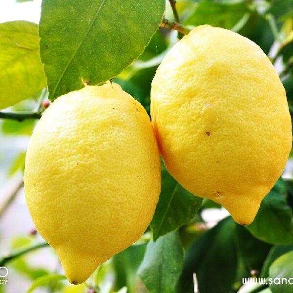 Zitronen Extrakt BIO SanaBio Lieferant