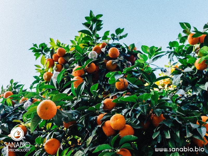 Mandarinenöl BIO SanaBio Lieferant